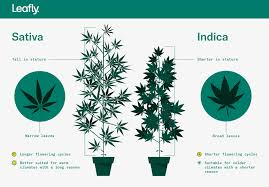 Sativa And Indica Chart Indica Vs Sativa Whats The Difference Between Cannabis