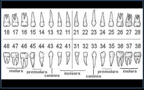 Teeth Names And Numbers Efficient Dental Chart With Teeth