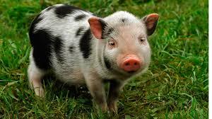 Teacup Pigs Micro Mini Pigs Piglets Juliana Pigs