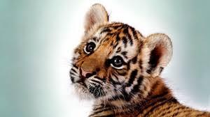 tiger wallpaper high resolution. Delighful Resolution Preview Wallpaper Tiger Kitten Big Cat Cub Predator Inside Tiger Wallpaper High Resolution D