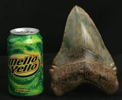 megalodon shark tooth compared to great white. Interesting White MEGALODON AND GREAT WHITE SHARK EVOLUTION  PART 1 OF 3  TRANSITIONAL  FOSSIL TEETH YouTube In Megalodon Shark Tooth Compared To Great White S
