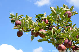 How To Grow Fruit Trees In North Carolina  Trees North Carolina Fruit Trees That Grow In Nc