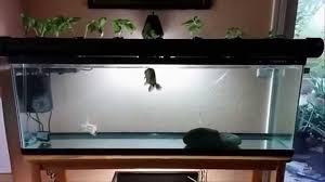 Self Cleaning Fish Tank Garden 55 Gallon Fish Tank Update Indoor Aquaponics 2014 Youtube
