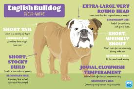 Olde English Bulldogge Puppy Weight Chart English Bulldog Puppy Weight Chart Goldenacresdogs Com