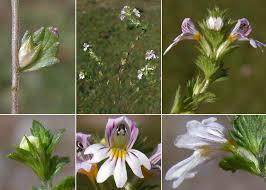 Euphrasia officinalis L. subsp. kerneri (Wettst.) Eb.Fisch. - Portale ...