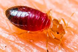 Treating Bed Bug Bites K9