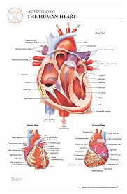 Anatomy Of The Heart Chart Body Scientific International Post It Anatomy Of Heart Chart Teaching Supplies Classroom Safety