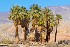 fan palm. california fan palms in the desert. palm