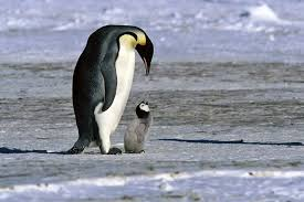 antarctic penguins species facts and adaptations emperor penguin