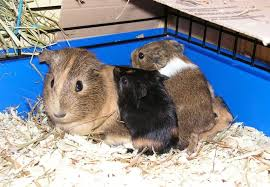 adorable gentle natured and expert snugglers guinea pigs are genuinely wonderful family pets compared to other small rodents they tend to have a