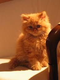 orange persian cat. Wonderful Orange For Orange Persian Cat