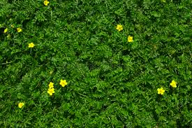 grass and flowers background. Contemporary Flowers Download Silverweed Green Grass With Yellow Flowers Background Stock Image   Of Plant Ground Throughout And C