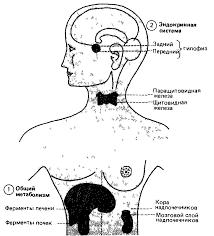 В общем плане наиболее существенны метаболические влияния ферментов печени и почек Источником других воздействий могут быть железы внутренней секреции
