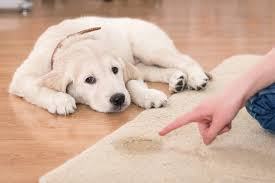 a golden retriever puppy laying next to a urine stain on a carpet rug looks forlorn