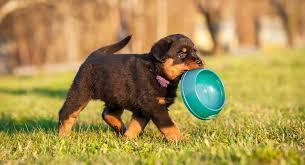 Rottweiler Puppy Diet Chart Best Food For Rottweiler Puppy Dogs