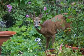 deer proof garden. Nothing\u0027s Foolproof, But Choosing Plants Carefully Can Help Ward Off Hungry Deer. Deer Proof Garden