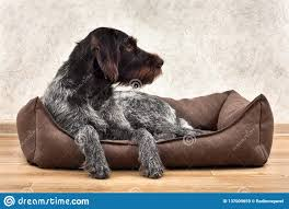 The Hunting Dog Lying In A Dog Bed ...