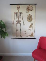 Human Skeleton Wall Chart Vintage Roll Down Medical School Wall Chart Of Skeleton Human Anatomy Biology