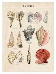 Seashell Chart Seashell Sketch Ii Framed Art