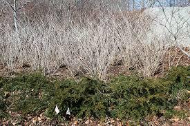 The Bestest Season Ever Variegated Five Leaf Aralia