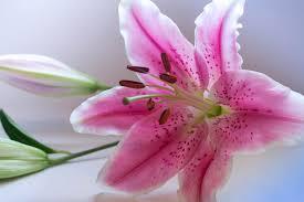 Hoa ly (lily) và những điều thú vị có thể bạn chưa biết - Dalat Hasfarm