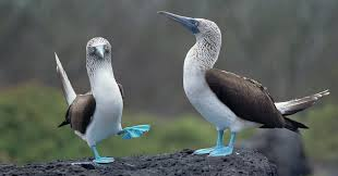 on galápagos revealing the blue footed y s true colors the new york times