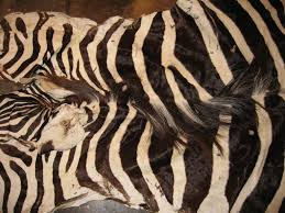 real zebra skin rug luxury