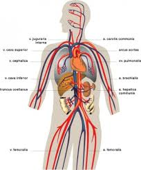 veins medical diagram clip art free vector in open office drawing    veins medical diagram clip art