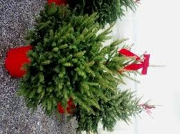 The use of potted living Christmas trees is becoming increasingly popular  with ...
