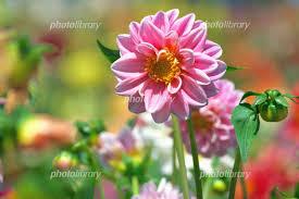 夏の主役ダリアの花 写真素材 6000490 フォトライブラリー