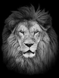 lion portrait black and white. Contemporary Black Portrait Of Huge Beautiful Male African Lion Against Black Background   Stock Photo Colourbox To Lion Black And White W