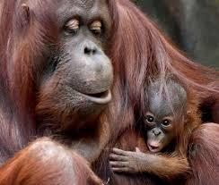 Watch: Baby orangutan debuts at Chicago-area zoo