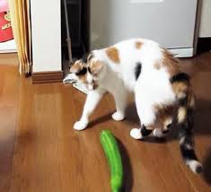 Cat Stock Quote Beauteous Cats Vs Cucumbers Know Your Meme