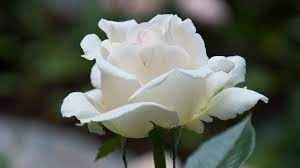 White Roses Flowers Wallpapers - Top ...