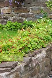 alpine strawberries raised off the ground by growing in low wall