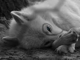 Image result for white wolf with blue eyes