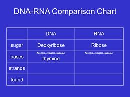 Rna And Transcription Dna Rna Protein Rna And Transcription