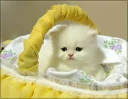 british short hair kitten singapore pets sg pets