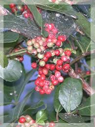 Growing Raspberries And Blackberries In Florida  The Survival Fruit Trees For North Florida