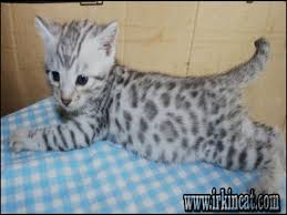 white bengal cat. Beautiful Cat The Biggest Myth About White Bengal Cat For Sale Exposed Intended