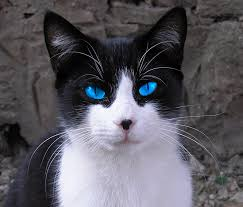 black cats with blue eyes and white paws. Plain Black Image Gallery Of Black Cat With White Paws And Blue Eyes Inside Cats