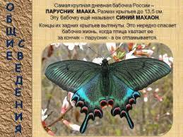 Детские презентации Детская презентация Бабочки насекомые  Презентация доклад о жизни насекомых бабочек Дочка делала доклады по этим материалам в прошлом году в 1 классе Заняла первое место и стала лауреатом