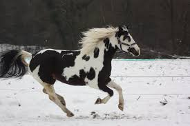 black and white paint horses running. Wonderful Running Tweet  In Black And White Paint Horses Running W