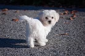 Maltese Dog Wallpaper HD for Android ...