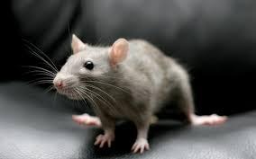 Image result for चूहें छू मंतर
