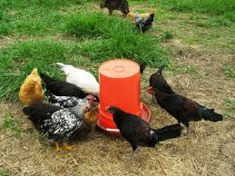 10 best DIY chicken feeder and waterer plans and ideas