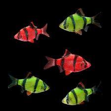 petco glofish. Delighful Petco GloFish Assorted Barb Intended Petco Glofish A