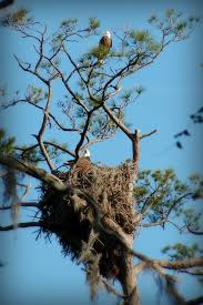 eagles nest size eagles nest bald eagle nests are among the largest nests of all