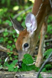 Fawn Age Chart Fawn Baby Deer Information And Photos Thriftyfun