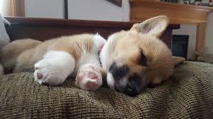 corgi puppy sleeping.  Sleeping Is There Anything Cuter Than A Sleeping Corgi Puppy With Corgi Puppy Sleeping T